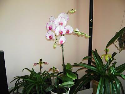 Njega orhideja u phalaenopsisu kod kuće