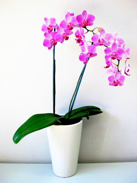 Пот за орхидеи