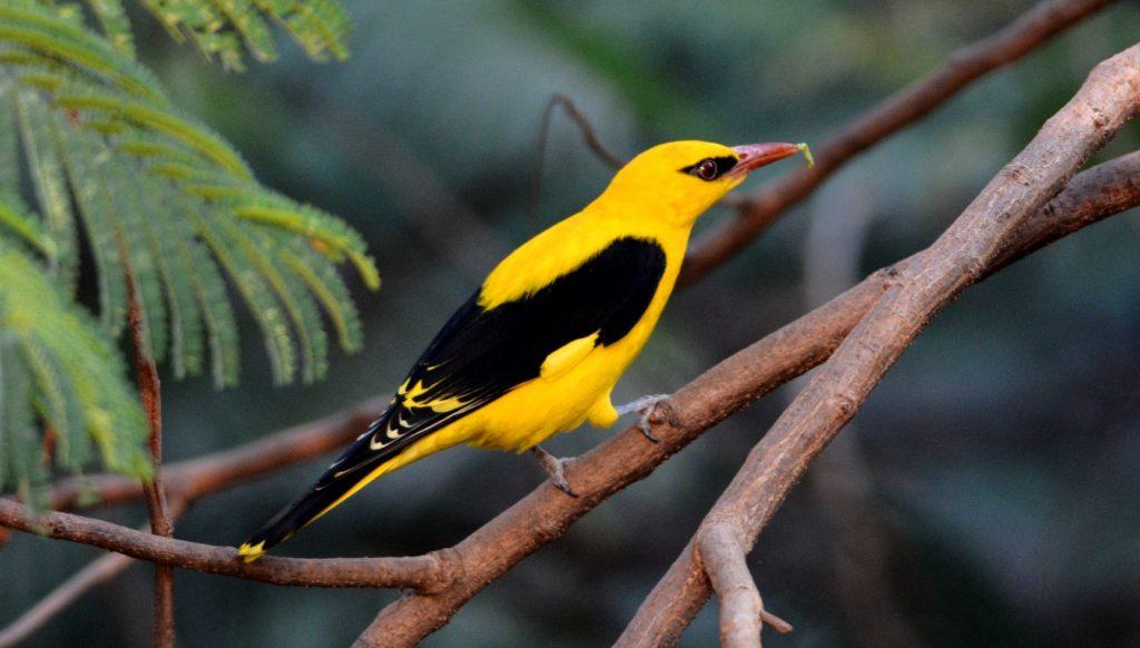 foto dell'uccello di oriole