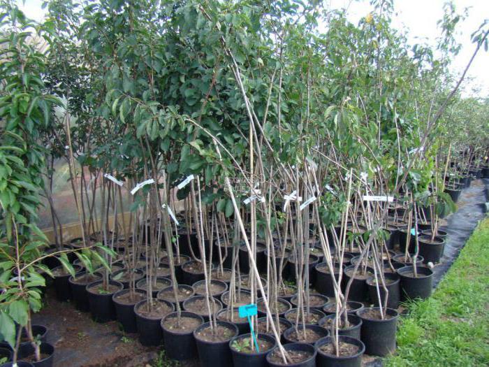 Breskva šljiva: opis sorte, značajke uzgoja, osvrti
