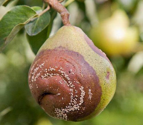 Oddělení Pear hodnocení fotografií