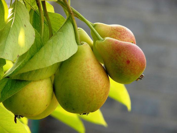 piantare la duchessa pera
