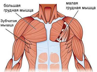 muscolo pettorale