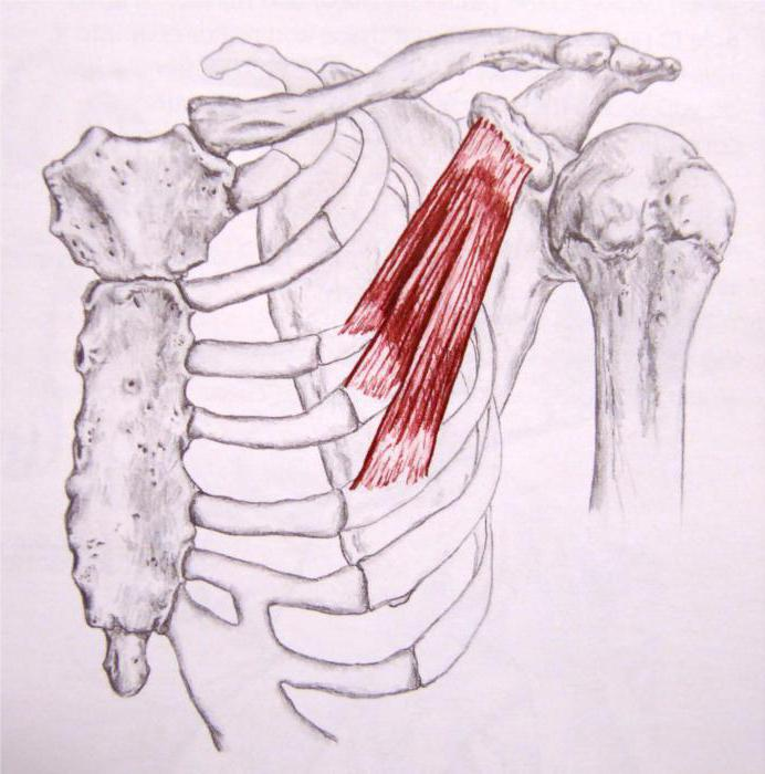 piccolo muscolo pettorale