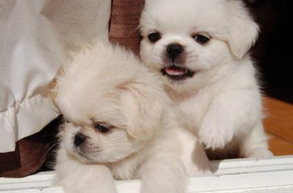 Cuccioli di pechinese