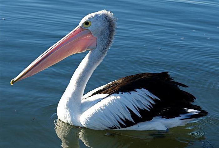 където живее пеликан