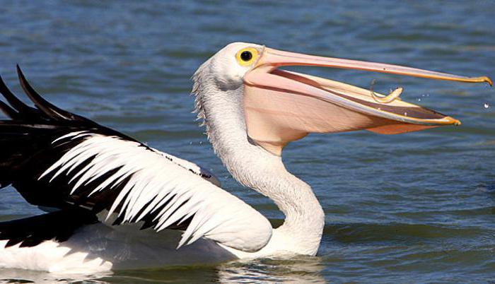 пеликани, живеещи в нашата страна