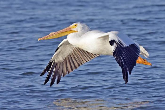 пеликан розова птица, където обитава