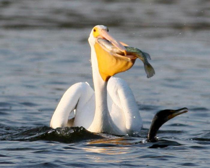 Пеликан и интересни факти за птиците