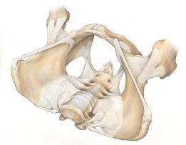 Karlična kost.  Struktura.