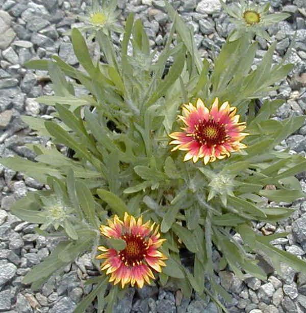 cvet gailardije