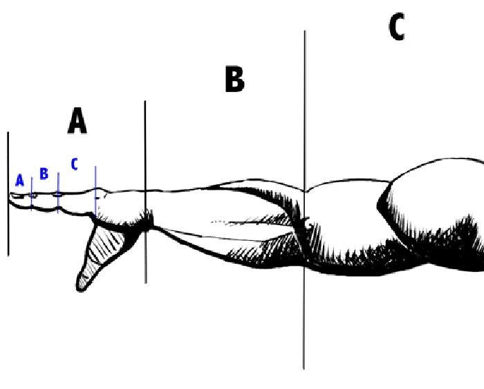 proporce těla