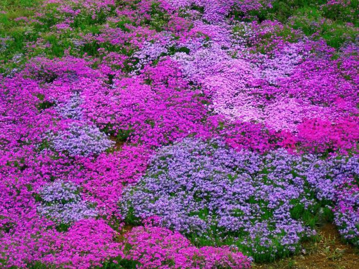 Cvetenje Phloxa