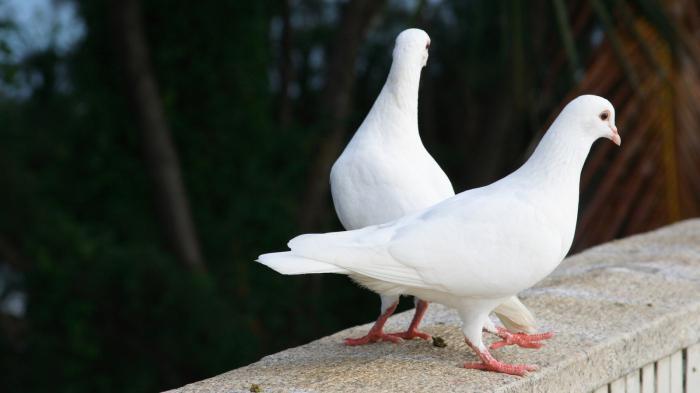 allevare piccioni