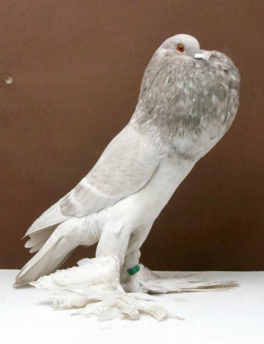 razze di piccioni volanti