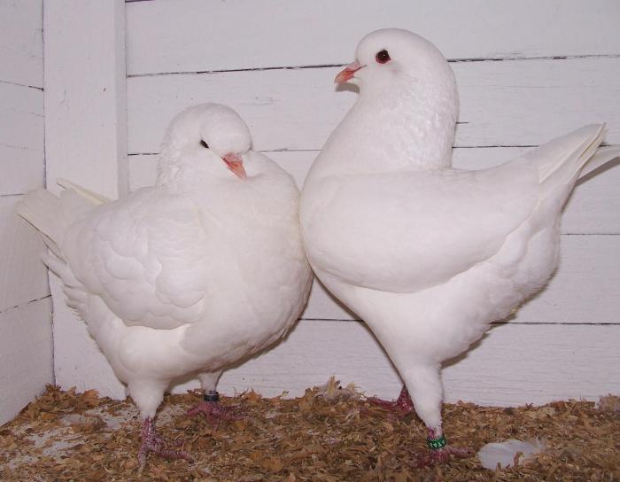 standard di razza di piccione
