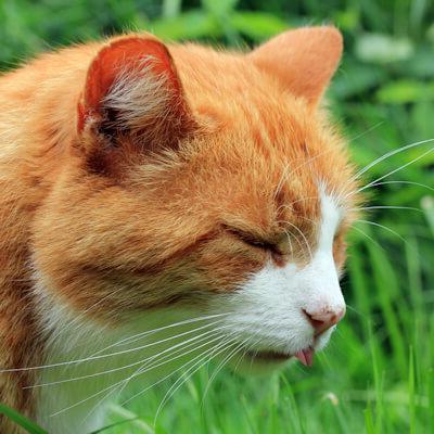 piroplasmosi nei gatti