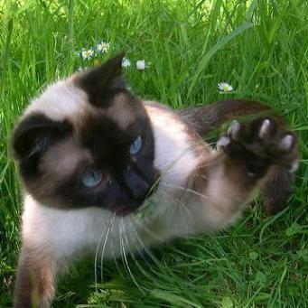 trattamento della piroplasmosi nei gatti