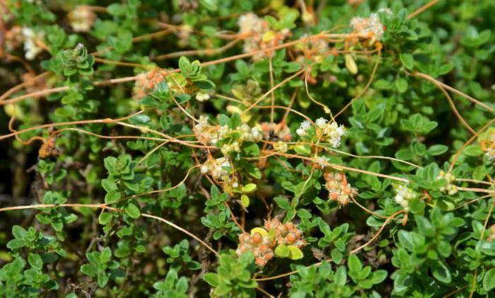 parazitske rastline