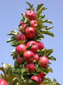 piantare meli