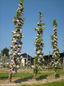 piantagione di meli colonnari