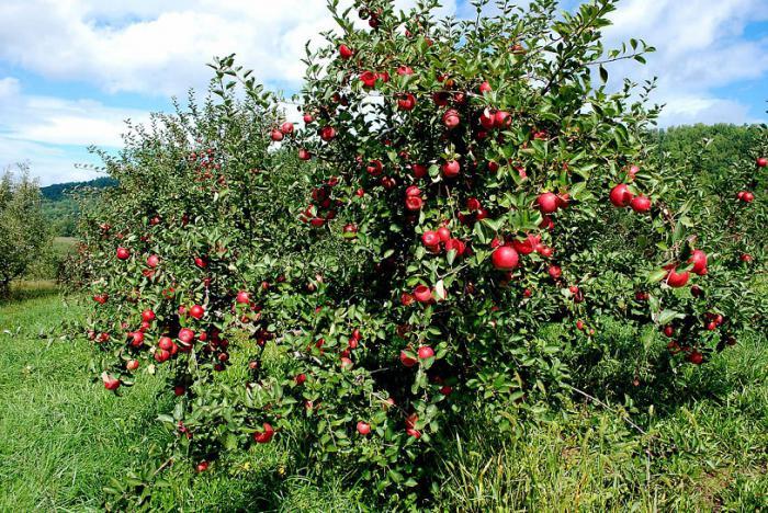 piantare meli nani