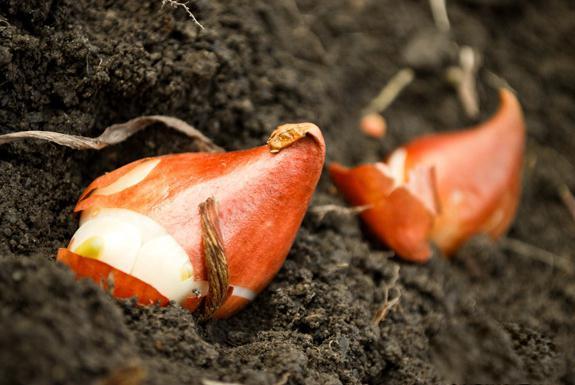 piantare bulbi di tulipani