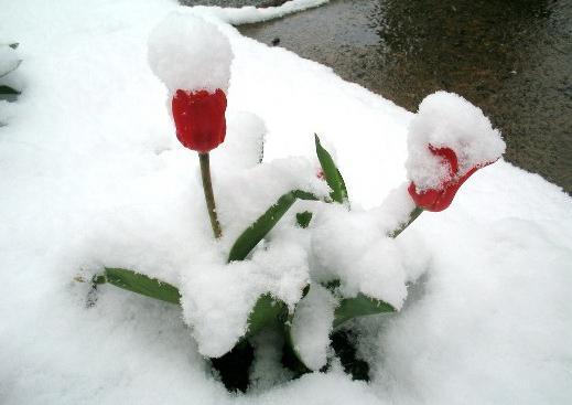 date di piantagione di tulipani