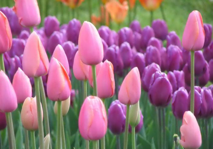 piantare il tempo dei tulipani