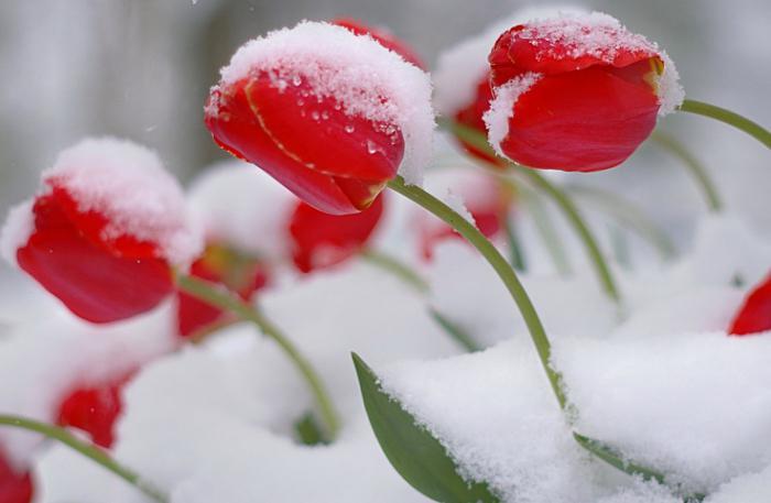 piantando tulipani in Siberia
