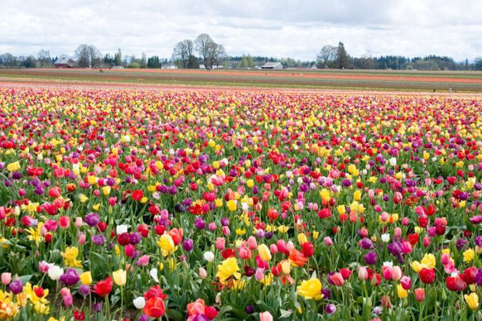 piantando tulipani nel terreno