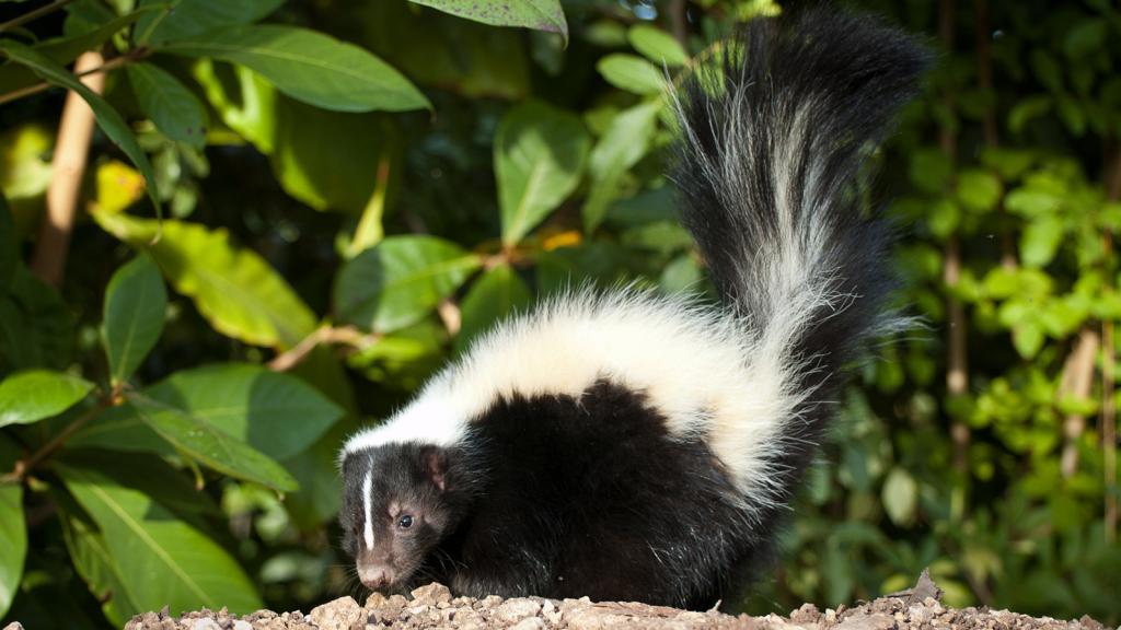 črtasto skunk