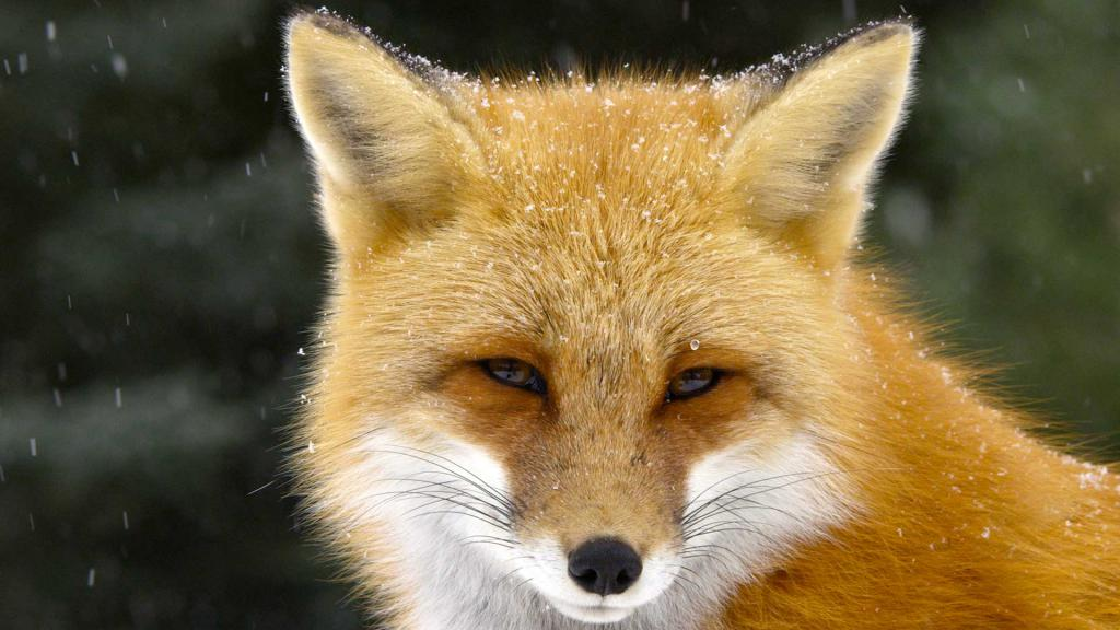 rdeča lisica