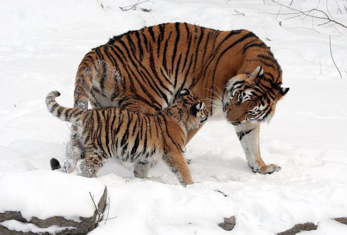 Caratteristiche del mondo animale della Siberia