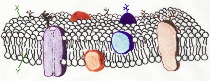плазма мембрана