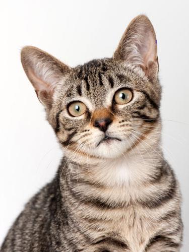 kratkodlake pasmine mačaka