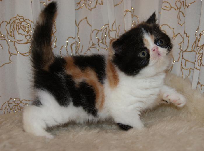 Egzotična pasmina kratkodlaka mačka