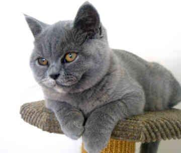 velike pasmine mačaka