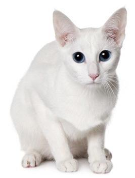 pasmine mačaka