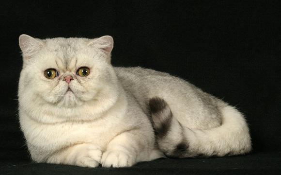 uzgajati bijele kratkodlake mačke