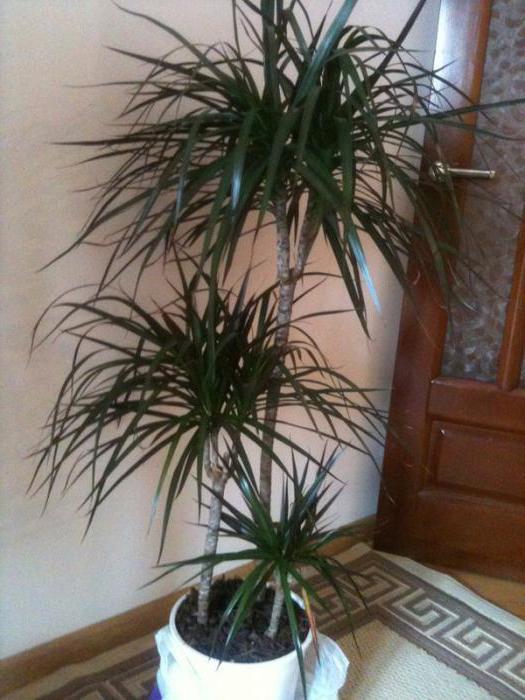 palm tree doma