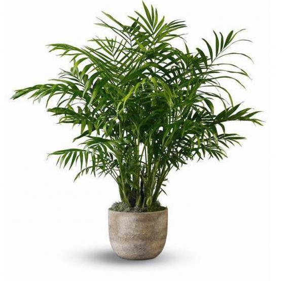 domácí květina druhy palmy