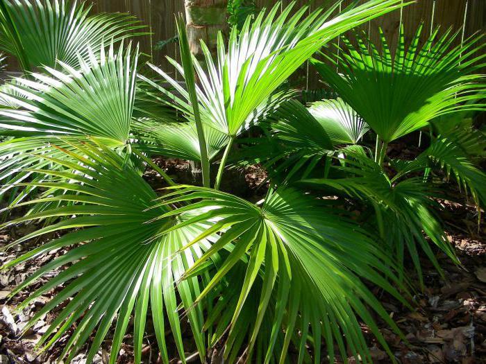 domácí palmové rostliny