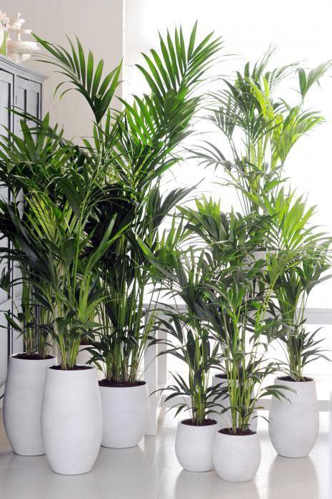 druhy palmových stromů a jejich jména