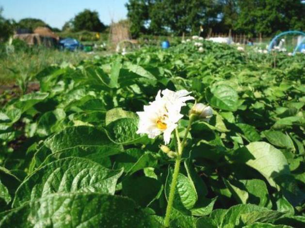 le infusioni medicinali delle proprietà medicinali dei fiori della patata
