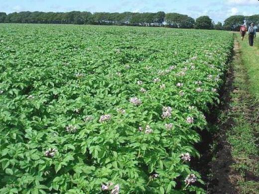 antidolorifici proprietà medicinali fiori di patata