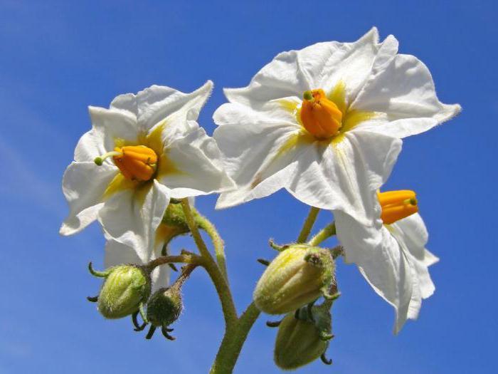 Le proprietà curative dei fiori di patata per le ustioni