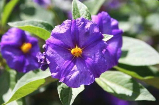 proprietà medicinali dei fiori della patata come preparare un'infusione