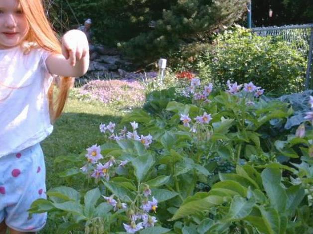 proprietà medicinali dei fiori di patata
