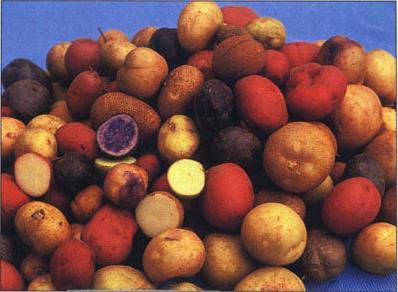 Varietà di patate